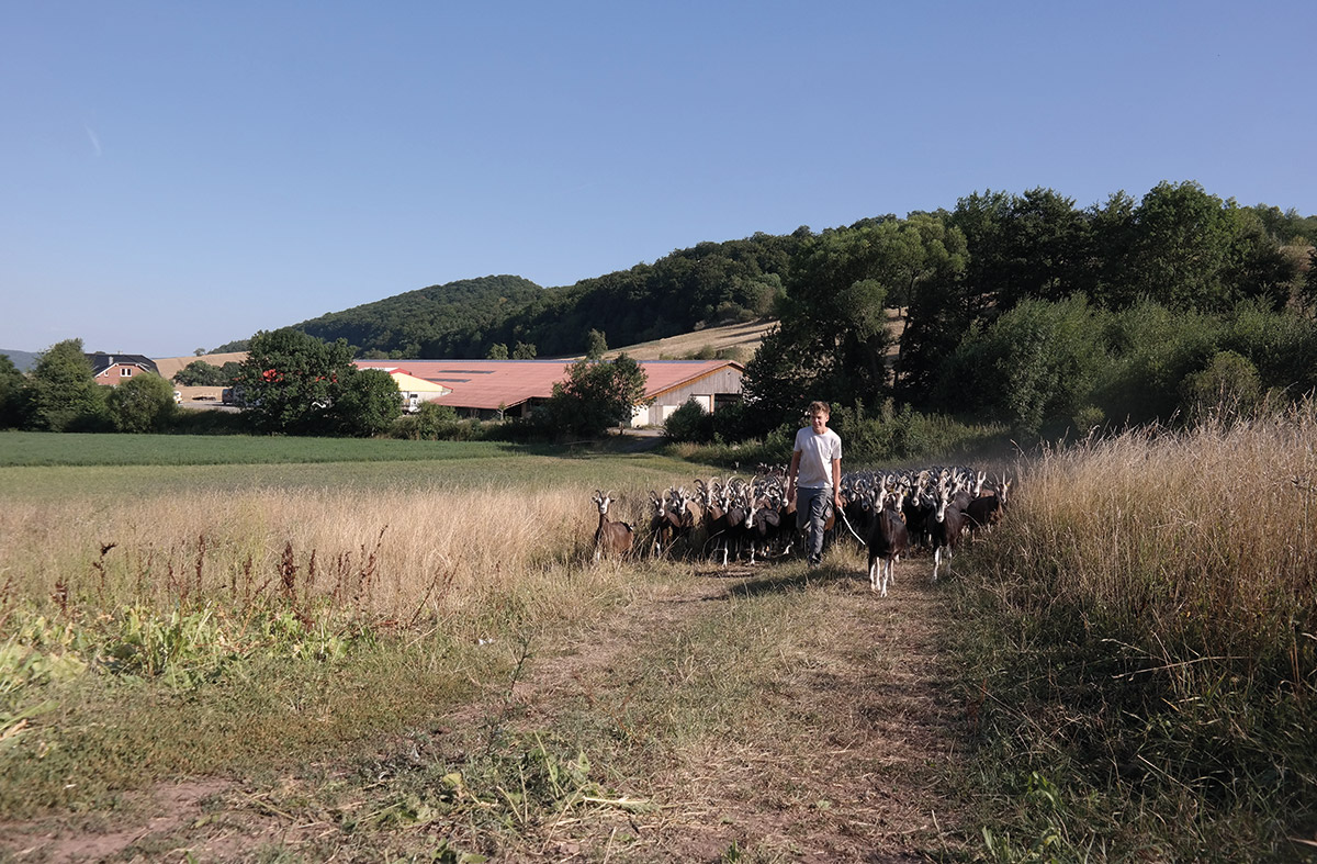 Ziegen auf dem Weg zur Weide am Hof Roesebach