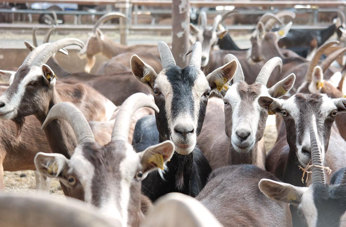 Ziegen drinnen im Stall vom Hof Roesebach