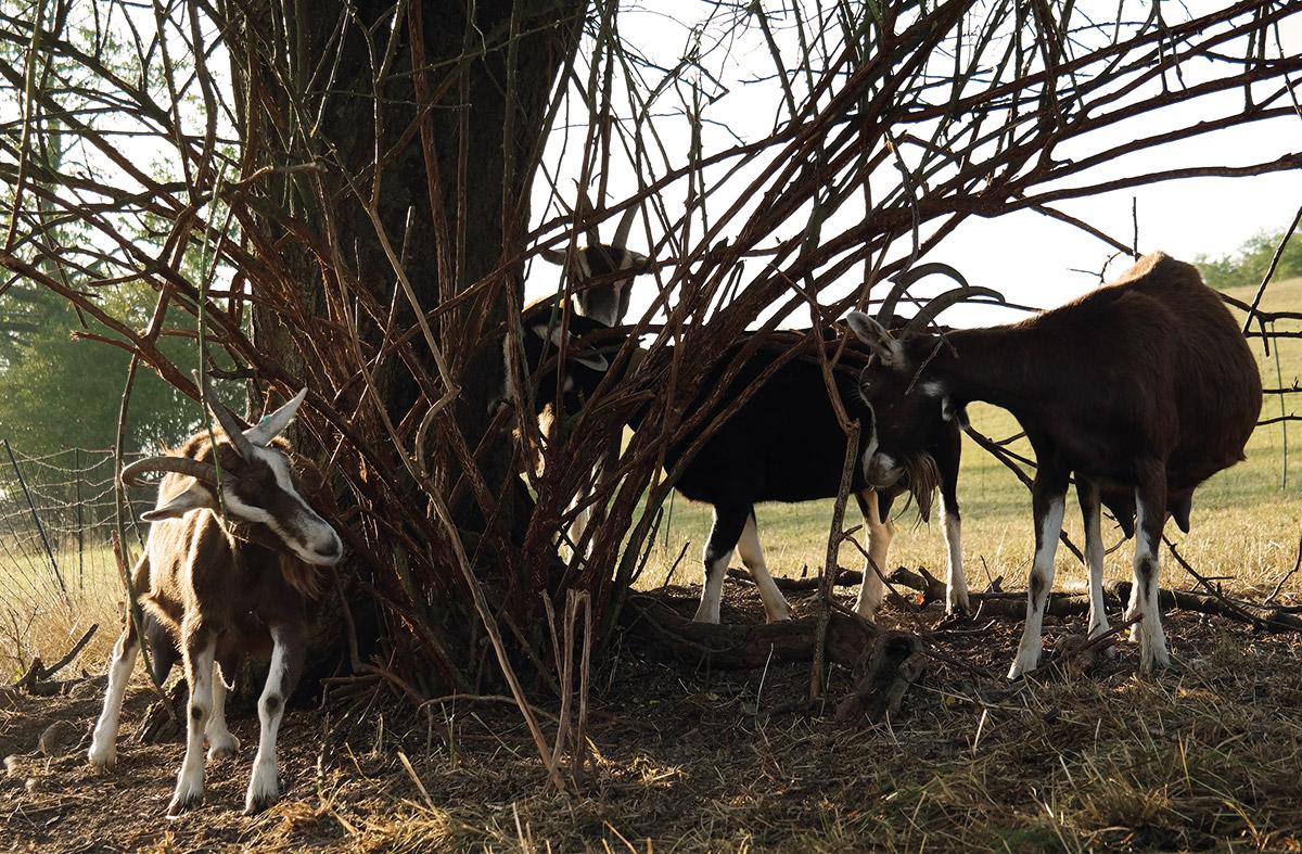Ziegen im Unterholz
